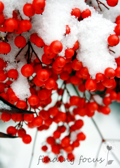 snow covered red berries in winter