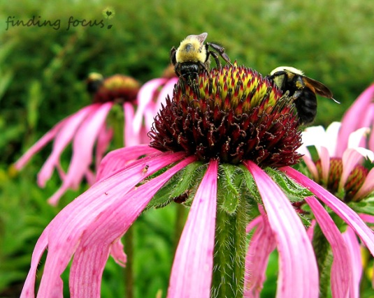 bumblebees on purple coneflowers