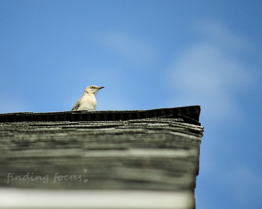 Northern Mockingbird on rooftop