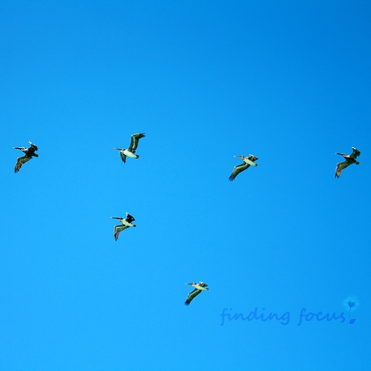 pelicans flying, pelicans in v formation, birds flying in a v, pelicans against bright blue sky